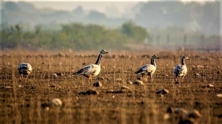 Pong dam migratory birds