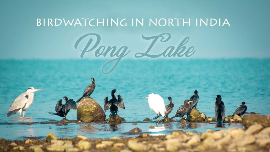 BIRDWATCHING IN NORTH INDIA PONG DAM