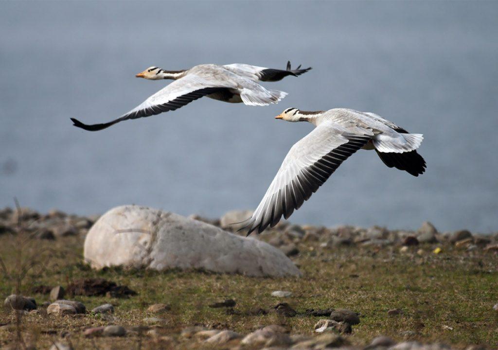bar headed geese in pong dam